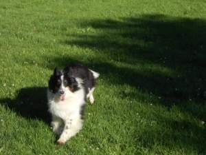 Shetland Sheepdog Princess