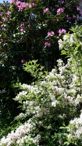 Wygelia and Rhododendron