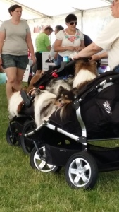 Stroller full of shelties