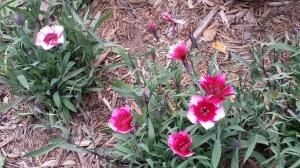 Pinks