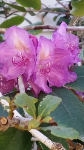 November Rhododendron