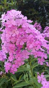 Flower-Phlox