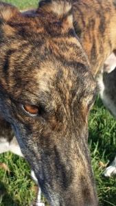 Dog, Greyhound, Cassius