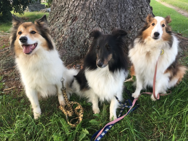 Three shelties obeying the sit command