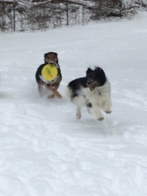 Dogs playing frisbee in the snow