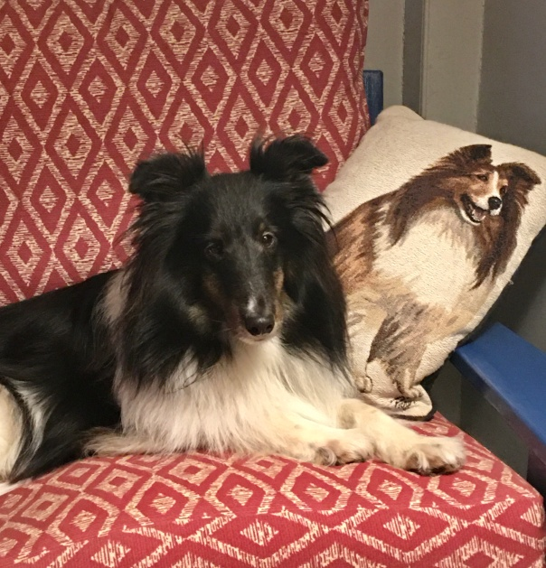 Claire the sheltie relaxing