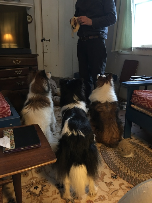 Dogs waiting for a bite of banana