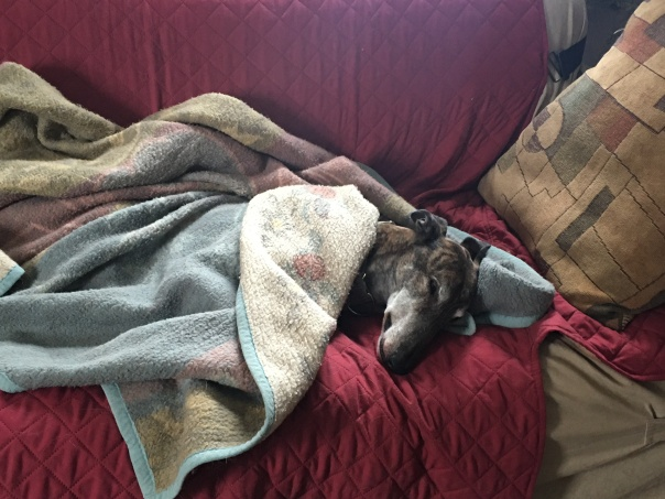 greyhound dog napping