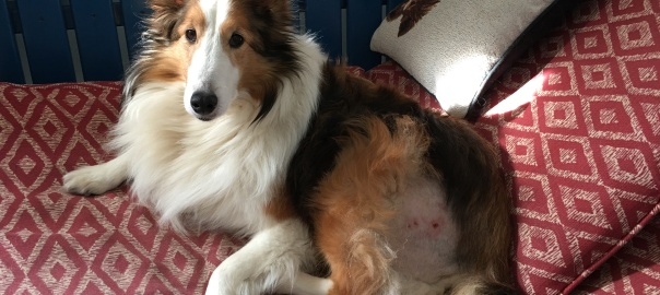 Sheltie Shelby resting after an injury