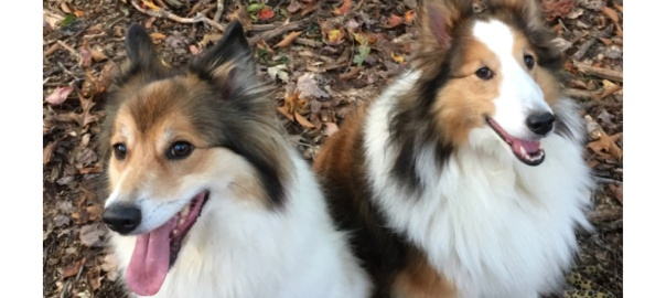Two Dogs, Sheltie