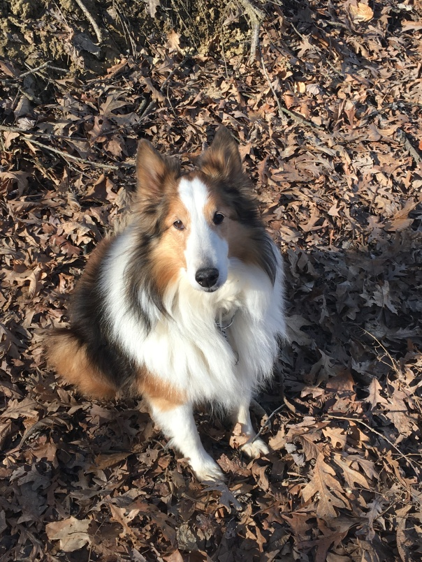 Sheltie holding a sit command