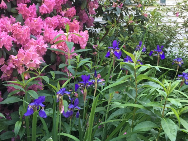 Rhododendron and Siberian Irises